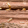 Protect Your Home Or Office From Costly Termite Damage With Solutions Pest  Management! Call Today