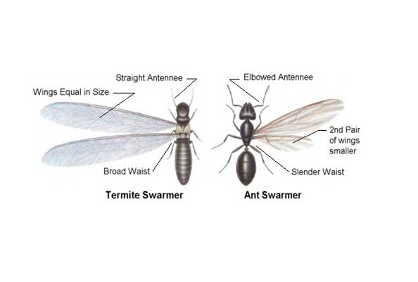 Difference Between Termites and Ants