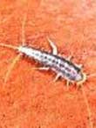 Silverfish and Firebrats